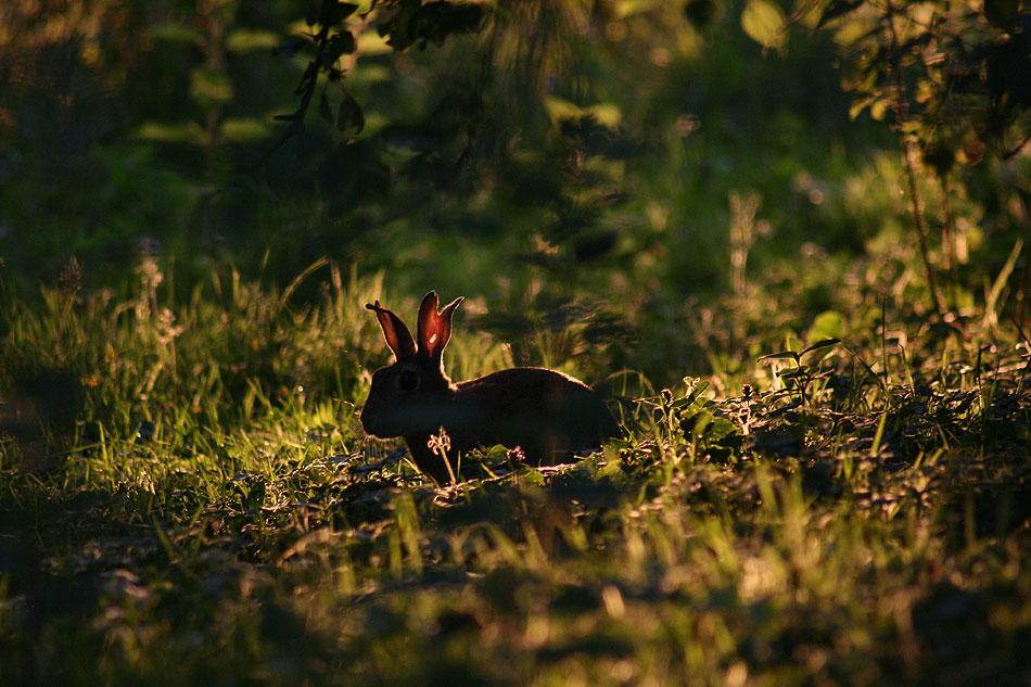 Lone rabbit