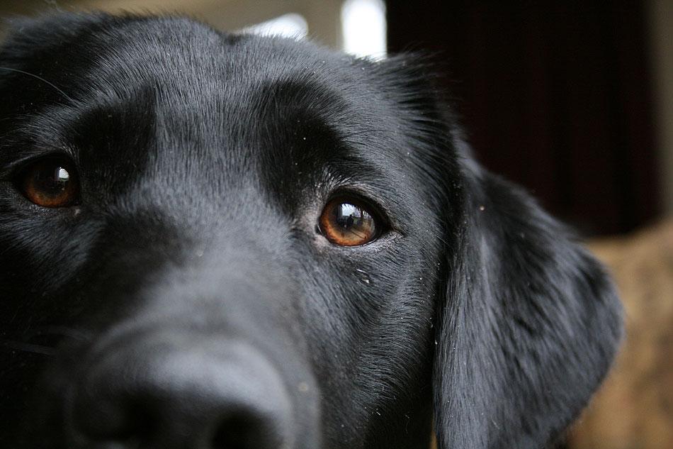 Labrador gaze