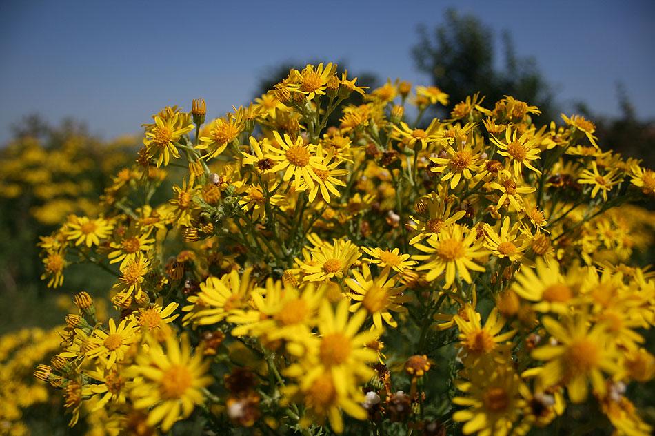 Norfolk daisies