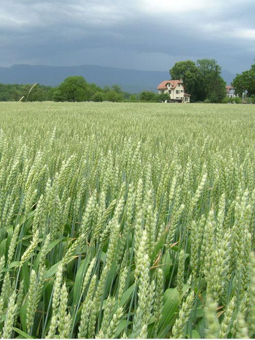 Swiss cornfields
